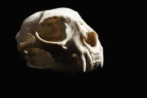 cráneo de lince