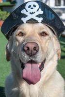 Perro Labrador Retriever Disfrazado de Pirata