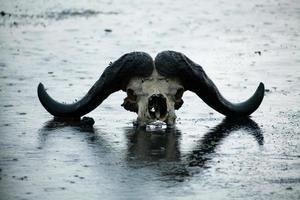 cráneo de búfalo africano