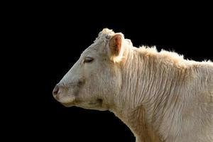profile of a Cow, isolated on black Background