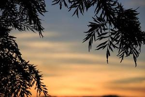 Sihouette view of Pinoideae tree (christmas tree) photo