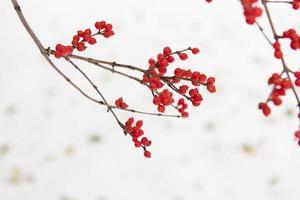 fruta vermelha do azevinho na neve