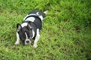 Cute Boston Terrier dog in green park photo