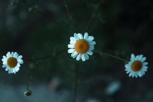 Three blooming daisies