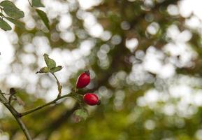 Rosehips photo