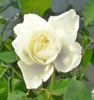 Beautiful bright white rose in garden