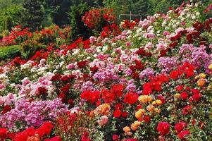 Colorful spring rose garden