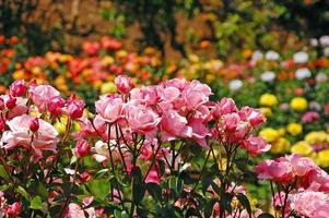 Pink spring rose garden