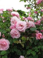 Blooming rose bush