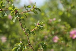 Rose rosehips bush in the garden summer spring photo