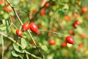 rosehip or dogrose