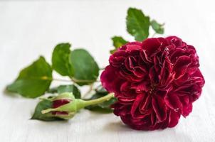 Single Red English Rose on White Background photo