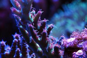 Tropical reef coral acropora photo