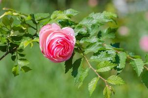 Pink rose in a park