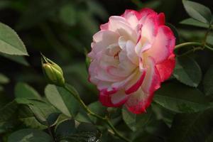 Rosa: foto
