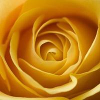 rosa amarilla photo