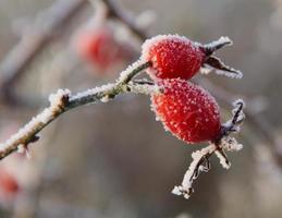 Frosty rose hips in sunlight