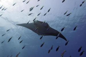 Manta in the deep blue sea while diving