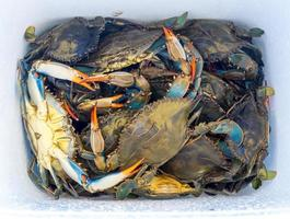 Blue Crabs photo
