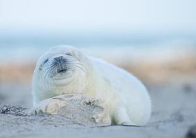 cría de foca gris (halichoerus grypus)