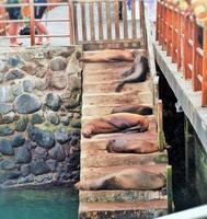 león marino de galápagos 01 foto