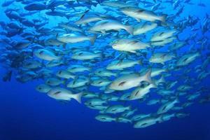 peixe pargo