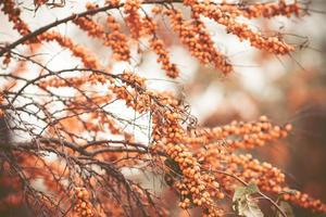 Branch with berries of sea buckthorn and green leaves