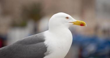 Seagull (Larus occidentalis)