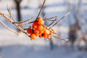 Frozen branches of sea buckthorn with berries. Winter sunny day.