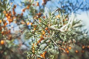 Branch with berries of sea buck-thorn and green leaves