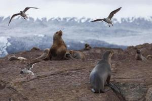 Sea lions in the national park Tierra del Fuego, Argentina photo