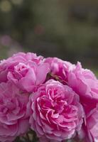 Pink floribunda roses.