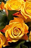 rosas foto