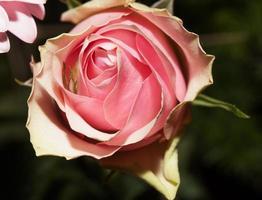 Rose photo