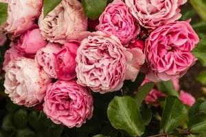pink polyantha roses in bloom photo