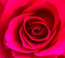 rosas en el jardín de rosas