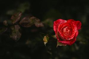 Beautiful red rose on a dark natural background