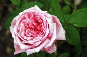 Pink rose blossom photo