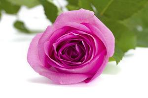 Rose pink on a white background