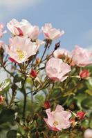 View of dog rose,close up