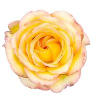 Yellow rose with blush tips on white photo