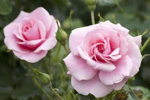 Two pink roses in a garden