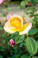 rose flower photo