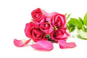 Rosa roja foto