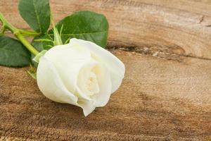 White rose. photo
