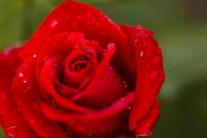 Blooming roses photo