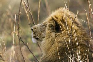 Lion in Kruger National park photo