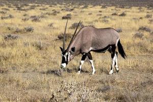 Orix in Namibia photo