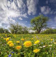 Dientes de león en un prado verde en la luz del sol