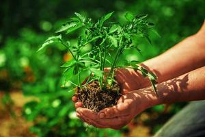 Seedling tomatoes in farmers' hands photo